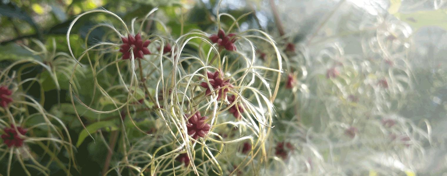 Dorothea-Rupprecht-Herbstblume2